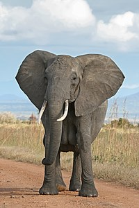 adivinhas-infantil-respostas-elefante
