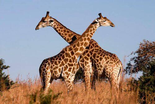 adivinhas-infantil-respostas-girafa