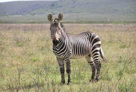 adivinhas-infantil-respostas-zebra