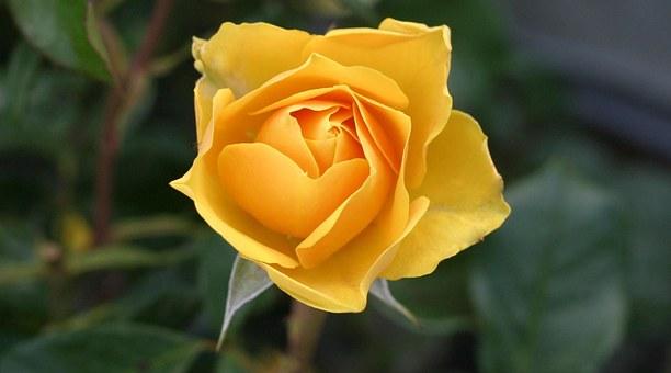 cantigas-roda-rosa-amarela