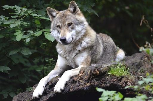 cantigas-roda-seu-lobo