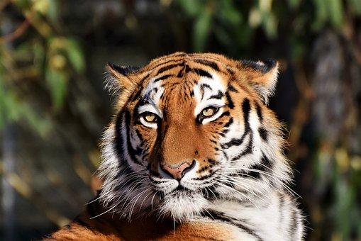 cantigas-roda-tigre