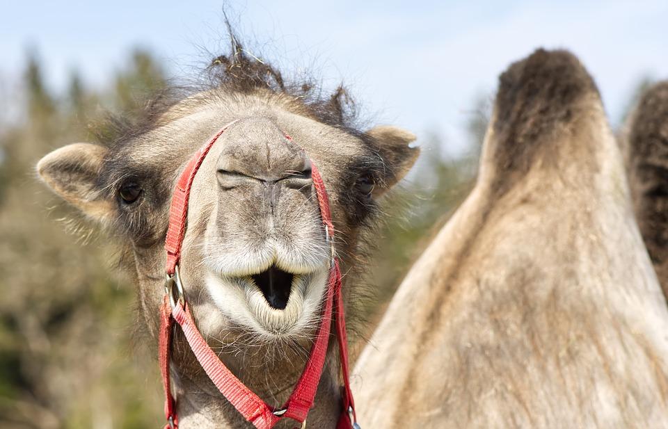 historia-infantil-camelo