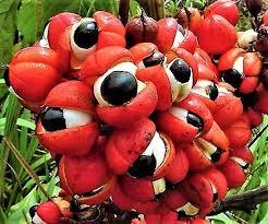 lendas-amazonia-guarana