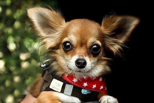 nomes-cachorros-pequenos-valentino