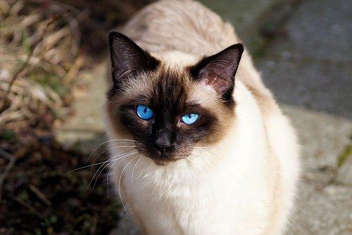 nomes-gatos-siameses-pitucha
