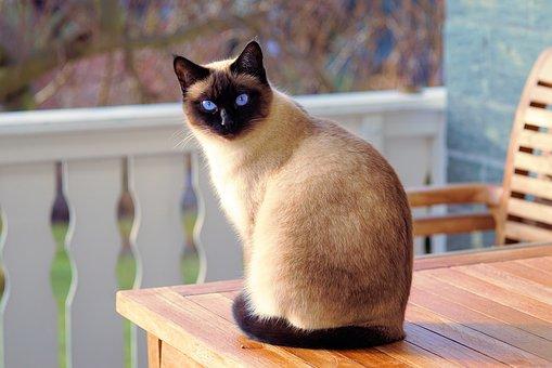 nomes-gatos-siameses