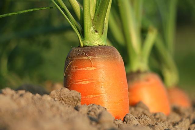papinha de maca e cenoura