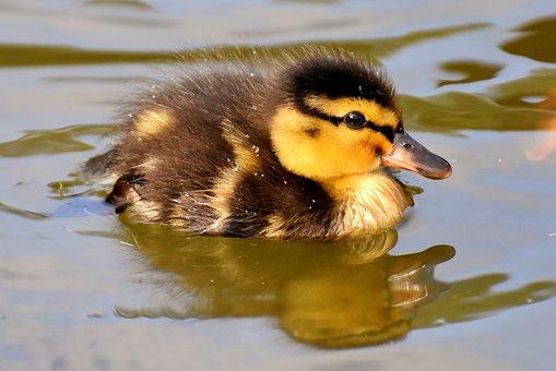 poesia-infantil-com-rimas-pato